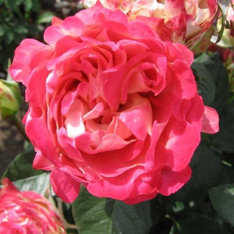 Купить сажкнцы розы недорого в москве заказ цветов воронеж с доставкой недорого