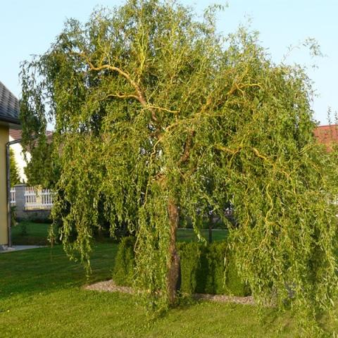 Salix (ива матсудана) erythroflexuosa