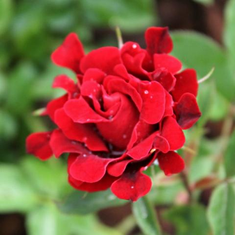 Купить саженец розы шоколад раффлс подарок на 8 марта одногруппницам