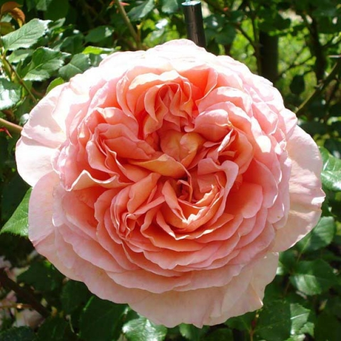 Розы остинки сорта купить в москве саженцы купить цветы казань дешево