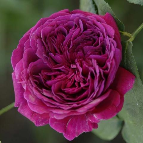 Розы остинки сорта купить в москве саженцы купить цветы астры