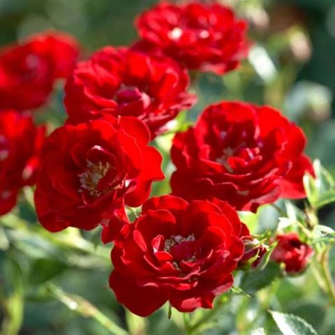 Канадские розы в горшке купить лучший подарок мужчине весы