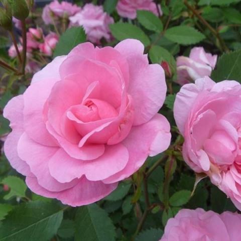 Купитьь парковые розы саженцы подарок беременной женщине амулет