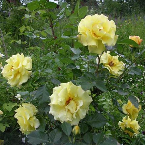 фото Уход плетистая посадка роза казино и