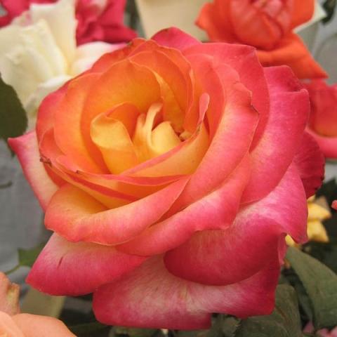 Купить розы дабл делайт в москве где купить цветы дорорс в минске
